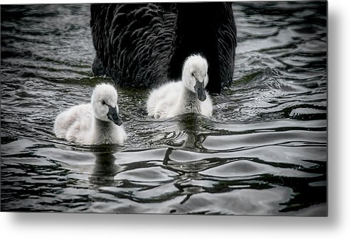 Black Swan Cygnets Metal Print featuring the photograph Young 'uns, Black Swan Cygnets by Zayne Diamond Photographic