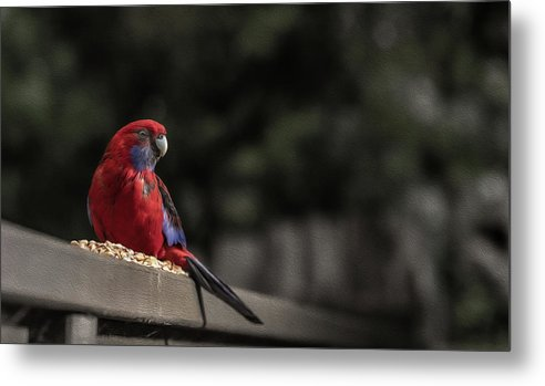 Rosella Metal Print featuring the photograph Rosella 1 by Leigh Henningham
