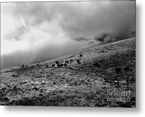 Cattle Metal Print featuring the photograph Before the Storm by Susan Chandler