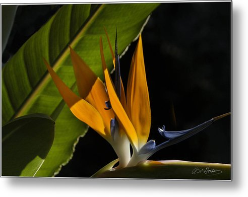 Flower Metal Print featuring the photograph Bird of Paridise2 by Richard Gordon
