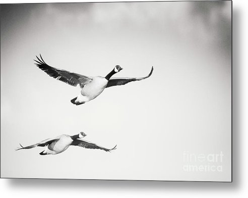 Geese In Flight Metal Print featuring the photograph Geese in Flight by Michael McStamp