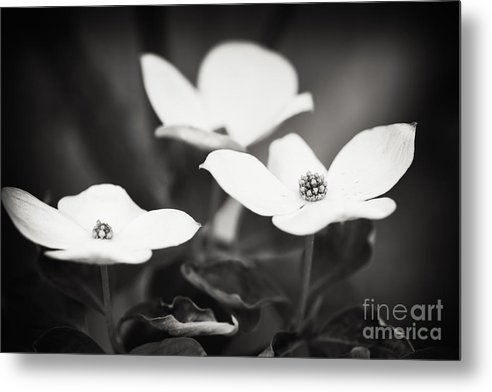 Nature Metal Print featuring the photograph Three Blooms of the Dogwood by Lisa McStamp