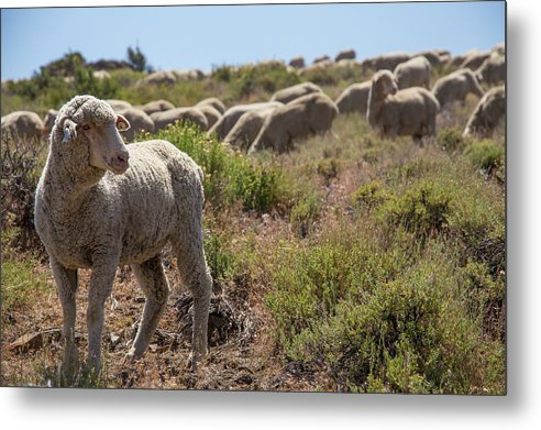 Sheep Metal Print featuring the photograph The Flock by Fred DeSousa