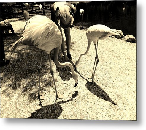 Sepia Tone Metal Print featuring the photograph Flamingo Feeding Fest by Lori-Anne Fay