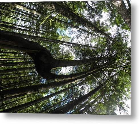 Tall Trees. Metal Print featuring the photograph Fork In The Sky by Charles Vana