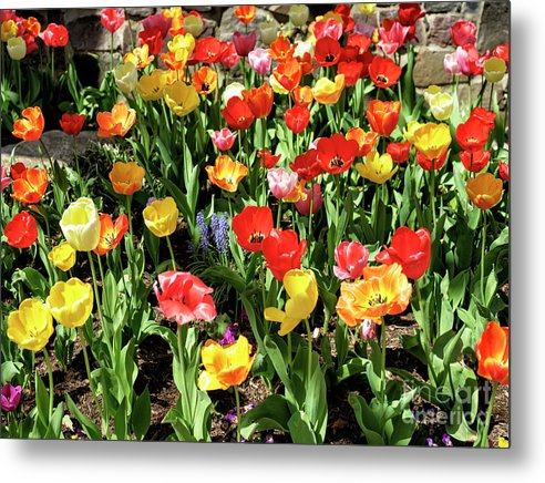 Tulip Colors Metal Print featuring the photograph Tulip Colors In Lambertville by John Rizzuto