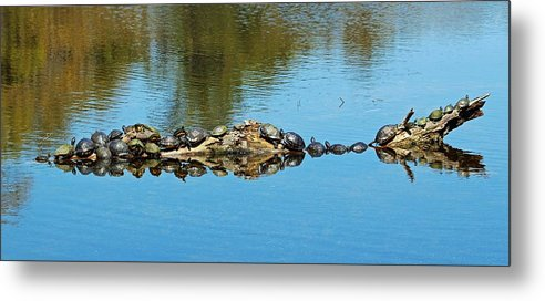 Animal Metal Print featuring the photograph Family Of Turtles by Cynthia Guinn