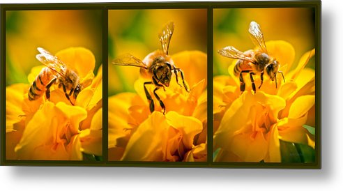 Bees Metal Print featuring the photograph Gathering Pollen Triptych by Bob Orsillo