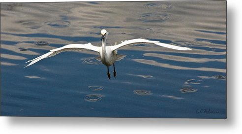 Snowy Egret Metal Print featuring the photograph Gear Down by Christopher Holmes