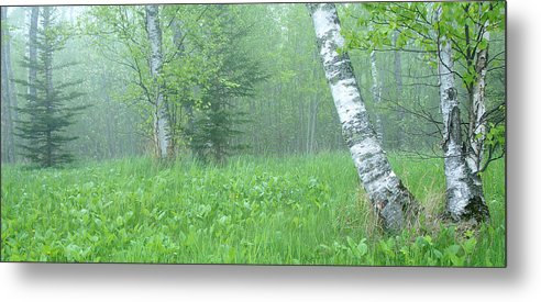 Landscape Metal Print featuring the photograph Silent Birch by Bill Morgenstern