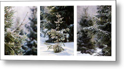 Santa Metal Print featuring the photograph Triptych - Christmas Trees In The Forest - Featured 3 by Alexander Senin