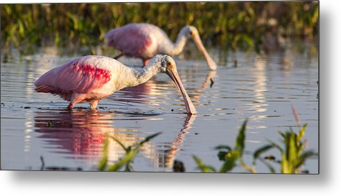 Bird Metal Print featuring the photograph Spoonbill Reflections by Andrew Baita