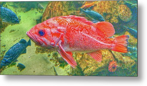 Red Fish Metal Print featuring the photograph Big Red Fish by Anthony George