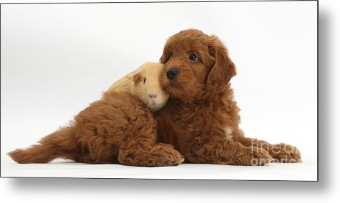 Red F1b Goldendoodle Puppy And Yellow Metal Print