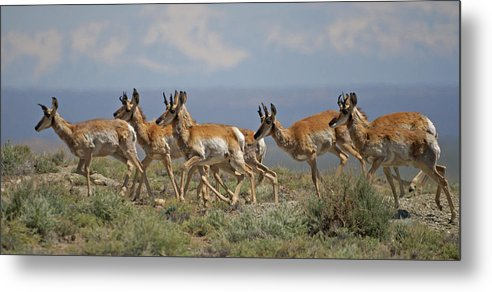Pronghorn Metal Print featuring the photograph Pronghorn Antelope Running by Heather Coen