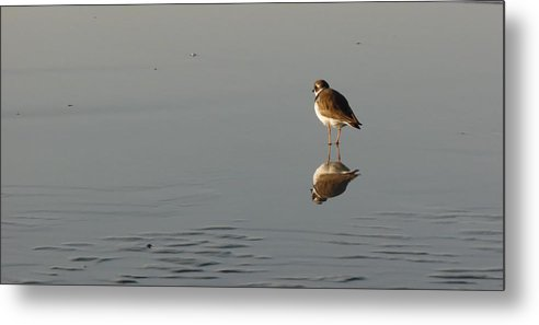 Birds Metal Print featuring the photograph Pipping Plover by Julie Houle