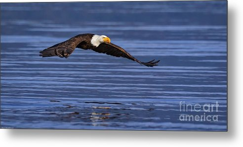 Swift Metal Print featuring the photograph Swift by Mitch Shindelbower