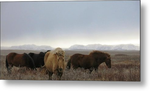 Iceland Metal Print featuring the photograph Wild Icelandic Toelter Horses by Dromore Photography