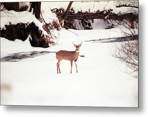 Whitetail Deer Metal Print featuring the photograph 080706-89 by Mike Davis