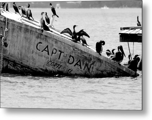 Boat Shipwreck Ocean Gulf Coast Water Birds Pelicans Florida Metal Print featuring the photograph Capt. Dan by Becky Arvin
