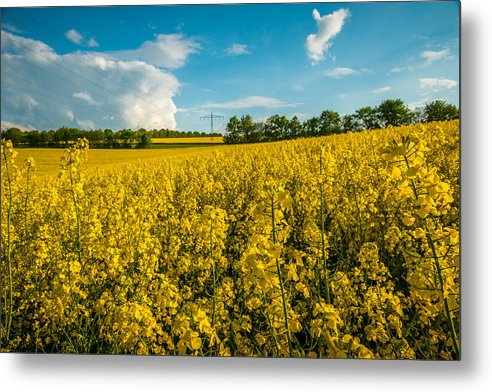 2014 Metal Print featuring the photograph Raps Rapeseeds Flowers by George Lim