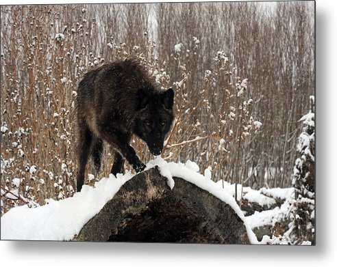 Black Wolf Metal Print featuring the photograph Black Wolf by Jacki Pienta