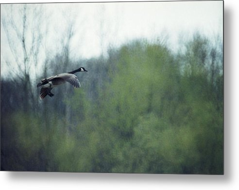 Canada Goose Metal Print featuring the photograph 070406-40 by Mike Davis