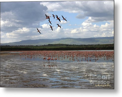 Flamingo Metal Print featuring the photograph Pink Formation by CB Hackworth