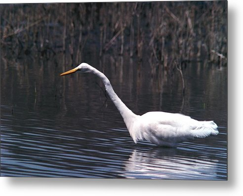 Great Egret Metal Print featuring the photograph 070406-8 by Mike Davis