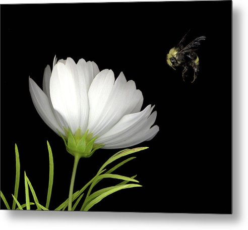 Cosmo Metal Print featuring the mixed media Cosmo and Bee by Sandi F Hutchins