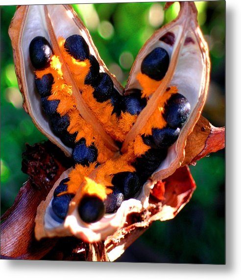 Bird Of Paradise Metal Print featuring the photograph Seeds of Paradise by James Temple