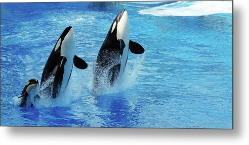 Panoramic Metal Print featuring the photograph Killer Whale Family Jumping Out Of Water by Purdue9394