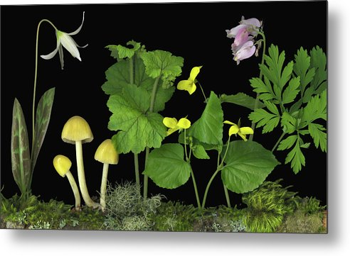 Pacific Northwest Native Species; Fawn Lily Metal Print featuring the digital art Forest Floor by Sandi F Hutchins