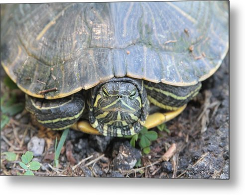 Turtle Metal Print featuring the photograph Green Turtle by Dwight Cook