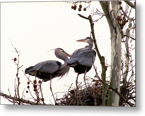 Great Blue Heron Metal Print featuring the photograph 070406-96 by Mike Davis