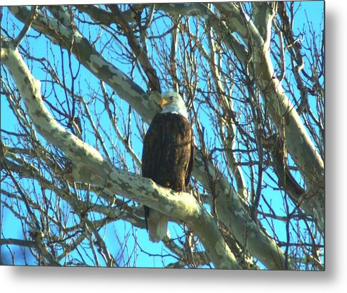 Eagle Metal Print featuring the photograph 020609-57 by Mike Davis