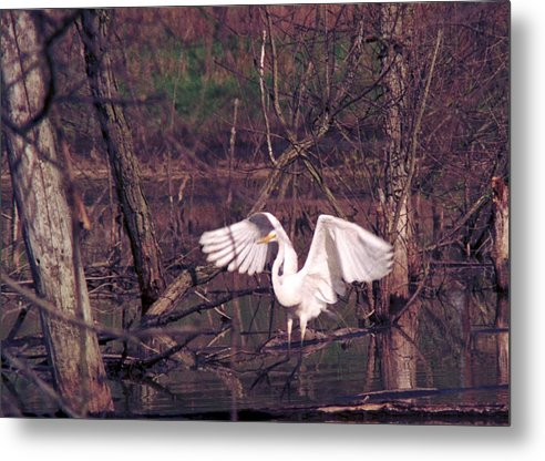 Egret Metal Print featuring the photograph 070406-22 by Mike Davis