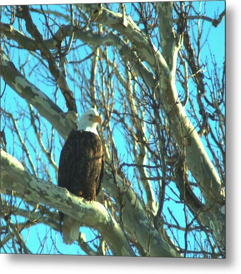 Eagle Metal Print featuring the photograph 020609-73 by Mike Davis