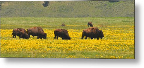 Bison Heard Metal Print featuring the photograph Bison Herd by Alan Lenk
