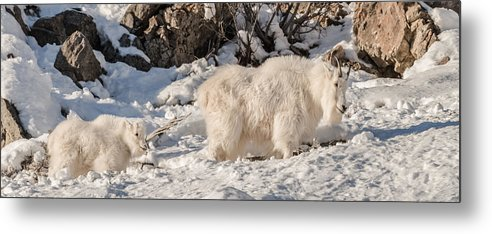 Mountain Goats Metal Print featuring the photograph Following Nanny Up The Hill by Yeates Photography