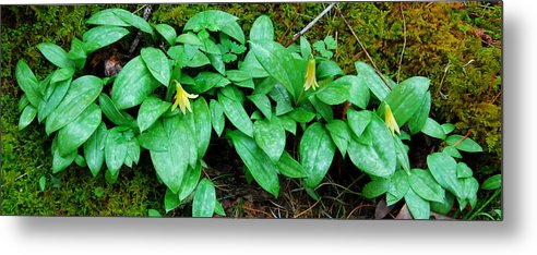 Trout Lily Metal Print featuring the photograph Trout Lily Panorama by Alan Lenk