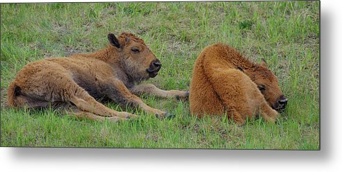 Bison Metal Print featuring the photograph Bison Calves by Gary O'Boyle