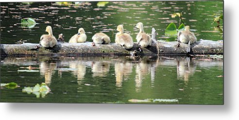 Cute Metal Print featuring the photograph Cute Canadian Geese Chicks by Pierre Leclerc Photography