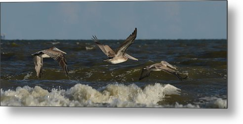Brown Pelican Metal Print featuring the photograph Brown Pelicans In Flight by Ruth Burke