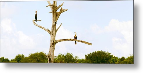 Photography Metal Print featuring the photograph Low Angle View Of Cormorants by Panoramic Images