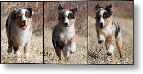 Horizontal Metal Print featuring the photograph Tryptich Of Puppy Running by Pat Gaines