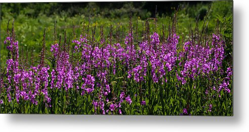 Rmbl Metal Print featuring the photograph Fireweed by Kevin Buffington