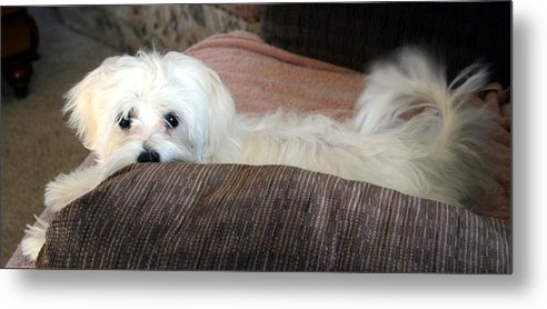 Maltese Dog Metal Print featuring the pyrography Boo by BJ Redmond