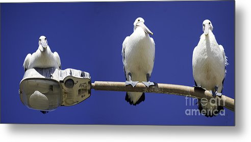 Australian White Pelicans Metal Print featuring the photograph Three Pelicans On A Lamp Post by Sheila Smart Fine Art Photography