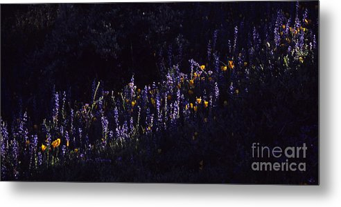 Lupine Metal Print featuring the photograph A Streak Of Nature by Randy Oberg